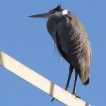 Blue Heron on the tower