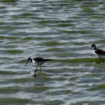 Blacknecked Stilts with chicks